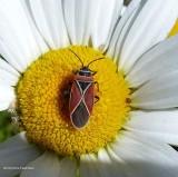 Seed Bugs (Family: Lygaeidae)