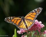 Monarch butterfly, female   (Danaus plexippus)