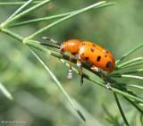 12-spotted asparagus beetle (Crioceris duodecimpunctata)