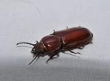 Pole borer beetle (Neandra brunnea)