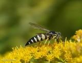 Sand Wasps (Family: Crabronidae, Subfamily Bembicinae)