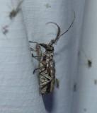 Northeastern pine sawyer beetle   (Monochamus notatus)