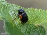 Casebearing leaf beetle (Cryptocephalus quadruplex)