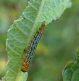 Willow sawfly larva (Nematus)