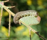 Sawfly larva on speckled alder