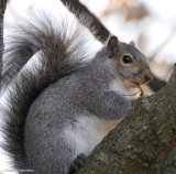 Grey Squirrels, Red Squirrels, Chipmunks, and Groundhogs (4 Galleries)