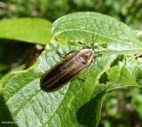 Firefly (Photuris sp.)