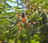 Orb-weaver (Araneus sp.)
