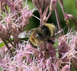 Honey Bees and Bumblebees of Larose Forest (Family: Apidae)