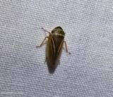 Leafhopper  (Aphrodes?)