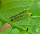 Sawflies (Subfamily Blennocampinae)