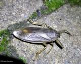 Giant Water Bugs (Family: Belostomatidae)