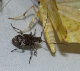 Long-horned beetle (Astylopsis macula)