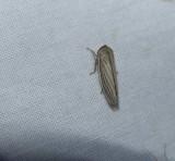 Silver leafhopper (Athysanus argentarius)