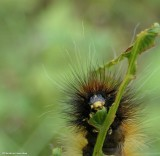 Virginian tiger moth caterpillar  (<em>Spilosoma virginica</em>), #8137