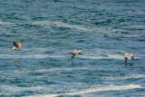2016-11-12b_Lighthouse_Point__Pacific_Grove__Surf_Scotters__Whales--1810--_RLH7698.jpg