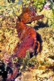 Sea Horse ('Hippocampus guttulatus') at Night