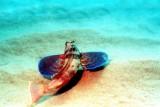 Flying Gunard, Wings Open On Sand Bottom