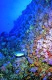 Unique Wall Of Purple Soft Corals