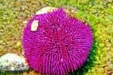 Eatable Sea Urchin