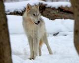 lakota_wolf