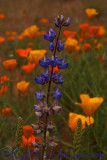 Lupine 2 Poppies