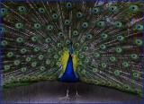 Peacock Spreading Wings
