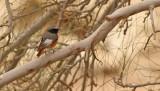 Rödstjärt  Redstart  Phoenicurus phoenicurus samamiscus