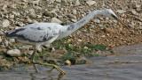 Revhäger  Western Reef Egret  Egretta gularis