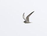 Småtärna  Sterna albifrons Little Tern