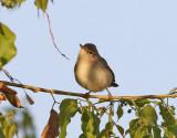 Eksångare  Olivaceous Warbler Hippolais pallida
