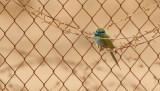 Grön dvärgbiätare  Little Green Bee-eater  Merops orientalis