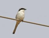 Ökenvarfågel  Lanius meridionalis  Southern Grey Shrike