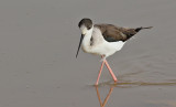Styltlöpare  Black-winged Stilt  Himantopus himantopus
