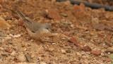 Östlig sammetshätta Menetries´s Warbler Sylvia mystaecea