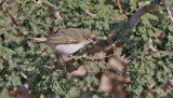 Balkansångare  Eastern Bonelli's Warbler  Phylloscopus orientalis