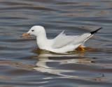Långnäbbad mås  Slender-billed Gull Chroicocephalus genei