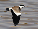 Sporrvipa  Spur-winged Plover  Vanellus spinosus