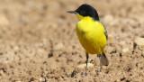 Gulärla  Yellow Waigtail  Motacilla flava feldegg