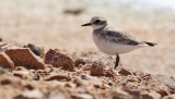 Ökenpipare Greater Sand Plover Charadrius leschenaultii