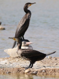 Storskarv  Great Cormorant Phalacrocorax carbo