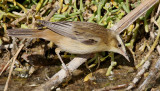 Sävsångare Sedge Warbler Acrocephalus schoenobaenus