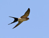 Rostgumpsvala Red-rumped Swallow Hirundo daurica
