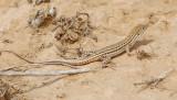 Fringe-toed lizard sp   Acanthodactylus sp.