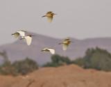 Rallhäger  Squacco Heron  Ardeola ralloides