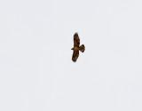 Hökörn  Bonelli's Eagle Aquila fasciatus