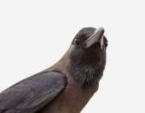 Huskråka House Crow Corvus splendens