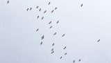Vit stork Ciconia ciconia White Stork