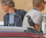 Sinaiglansstare Tristram's Starling Onychognathus tristramii