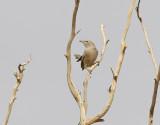 Arabskriktrast  Arabian Babbler  Turdoides squamiceps